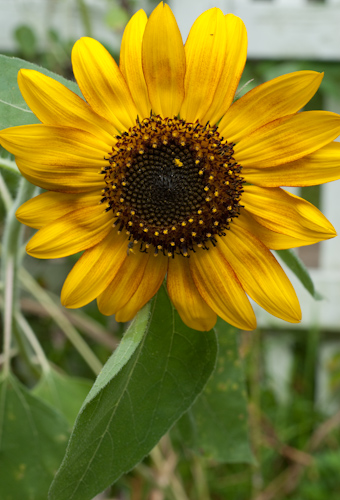 sunflowers-1149