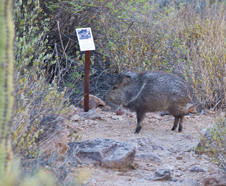 peccary