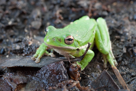 American Tree Frog