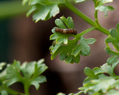 tiny swallowtail caterpillar
