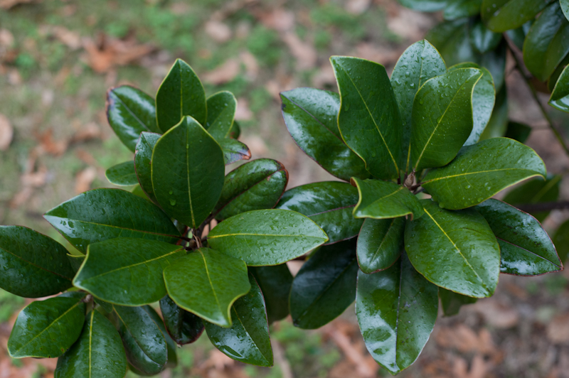 twin bunches of magnolia leaves