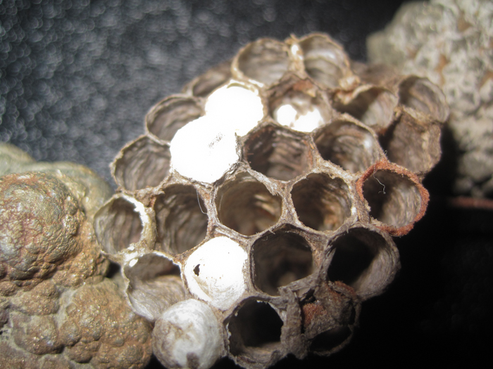 wasp nest