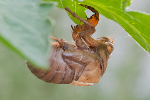 cicada on tomato leaf