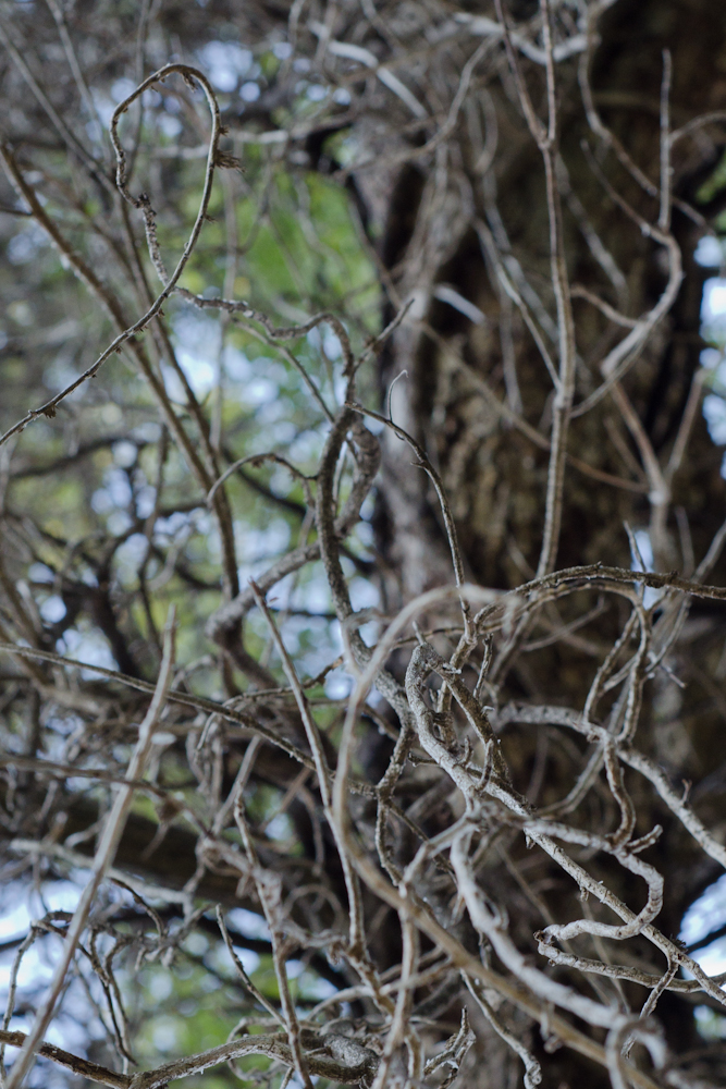 knotted vines