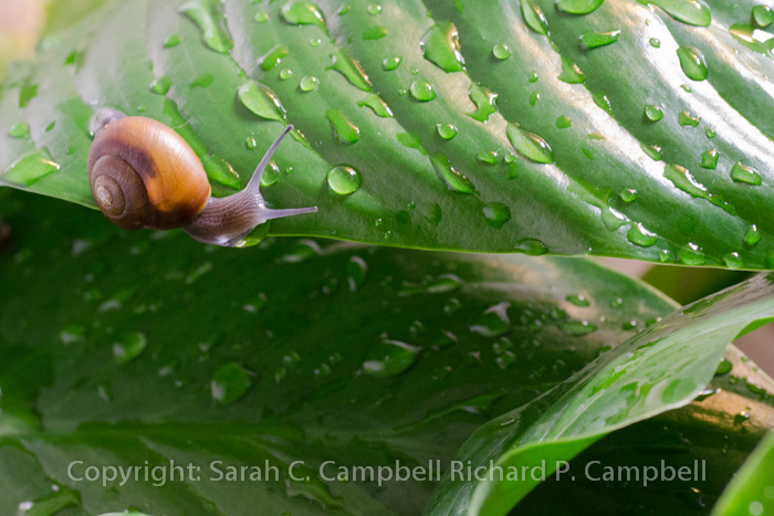 garden snail watermark