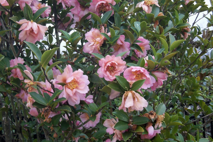 camelias
