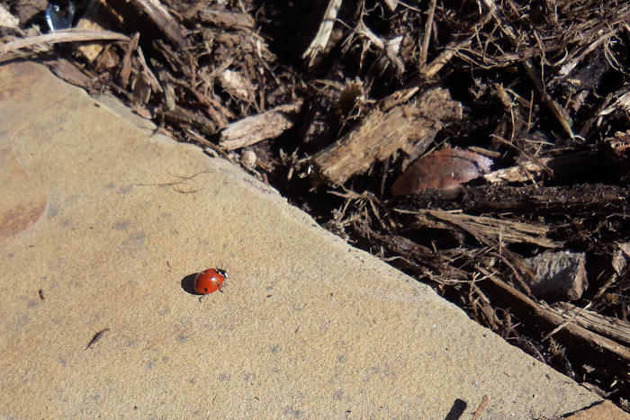 lady bug