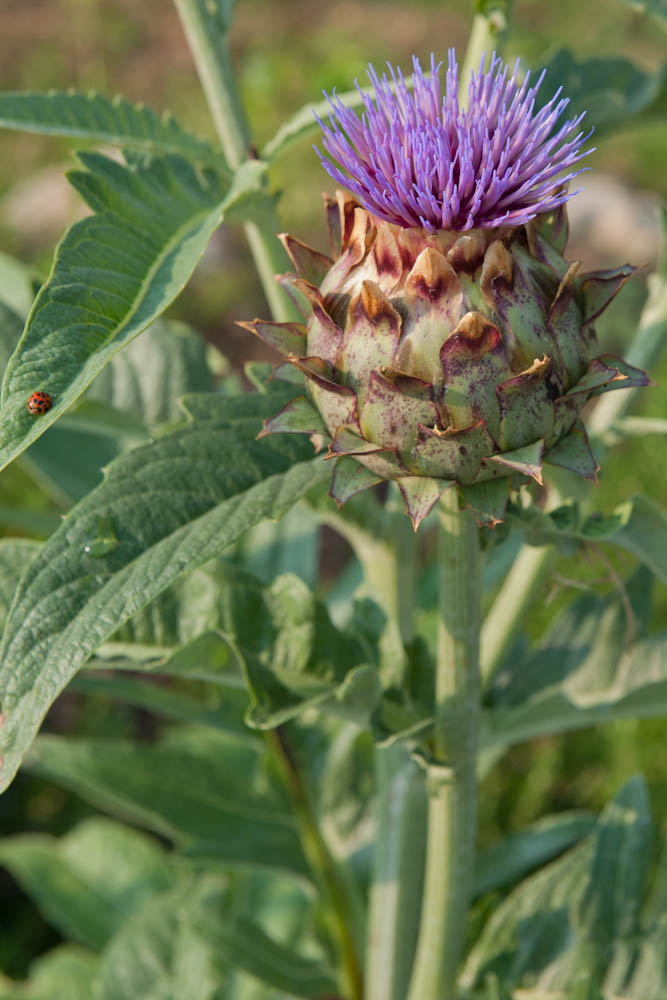 thistle