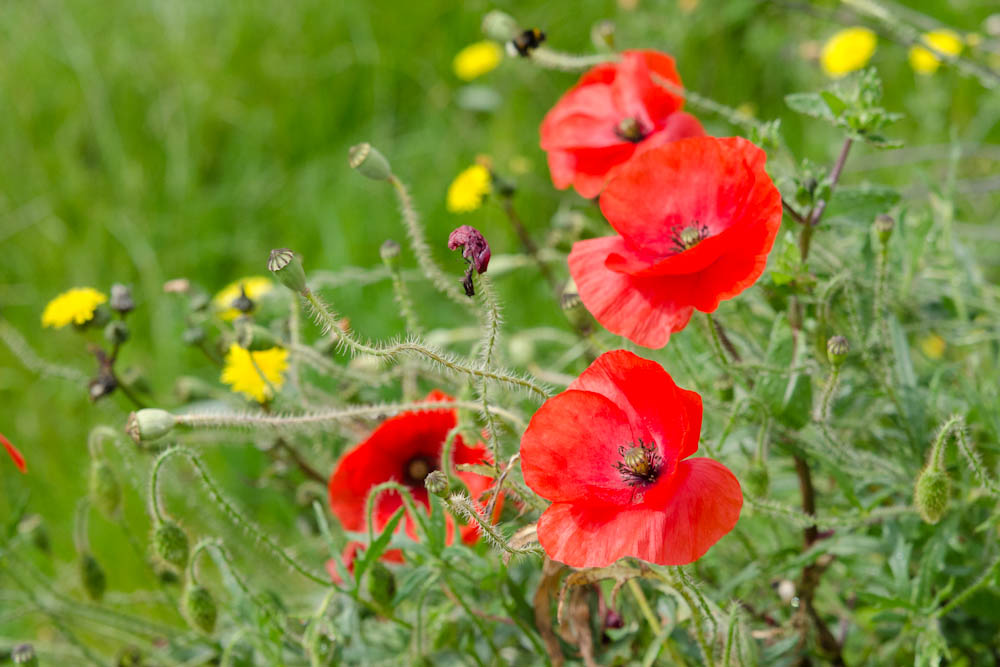 poppies near mt st michel
