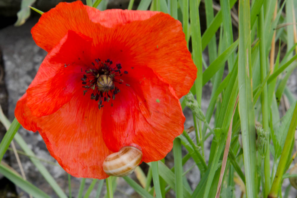 poppy with snail