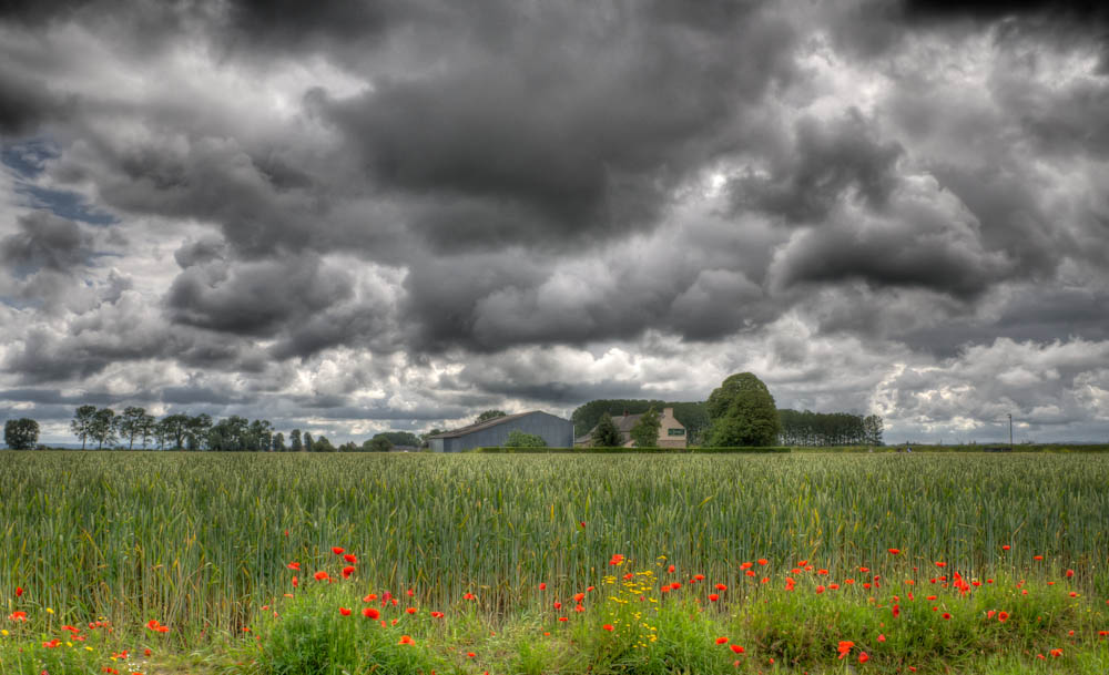poppies with dark sky